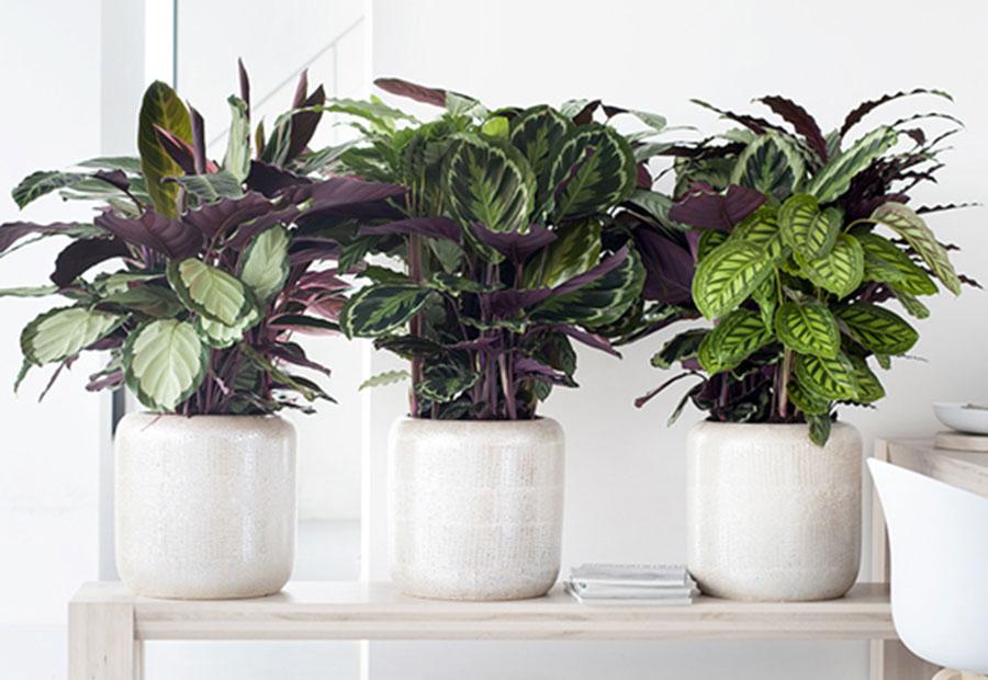 calathea plantas home office